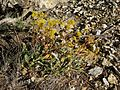 Flickr - brewbooks - Unidentified Eriogonum.jpg
