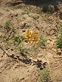 Flickr - schmuela - a flower in the desert.jpg