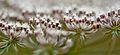 """Floral 07 """"hemlock"""".jpg"""