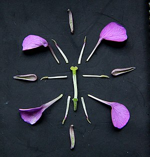 "Brassicaceae - Typical floral diagram of a Brassicaceae (Erysimum ""Bowles' Mauve"")"