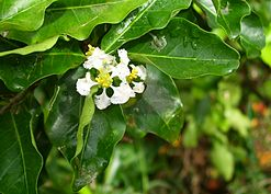 Flower of acerola2.jpg