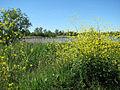 Flowering shrubs on the Wherrymans Way - geograph.org.uk - 1335110.jpg