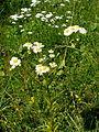 Flowers11Kokosovce5.JPG