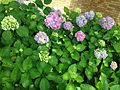 Flowers of Hydrangea macrophylla 20160531.jpg