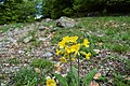 Flowers of Jablanica Mountain, Struga 06.jpg