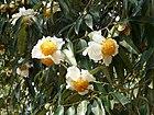 Flowers of Mesua ferrea Kaziranga TR AJTJ P1010329.JPG