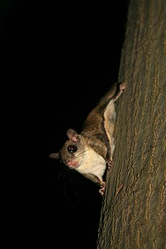 Flying squirrel.jpg