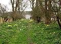 Footpath Daffodils at Fordon - geograph.org.uk - 1804247.jpg