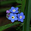 Forget Me Not flowers (4-11-07) canet rd, morro bay, slo co, ca (535302115).jpg