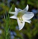 Formosa lily, Nagai Park, Osaka.jpg
