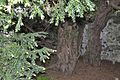 Fortingale Yew with 2 markers of its original girth EMAIL - DSC0111 4566.jpg