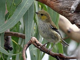 Forty-spotted pardalote perched on a branch amid eucalypt foliage