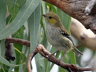 Forty-spotted pardalote - Image: Forty spotted Pardalote