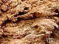 Fossil-gasteropods.jpg