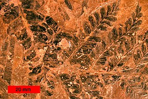 Compression fossil - Fossil seed fern leaves from the Late Carboniferous of northeastern Ohio.