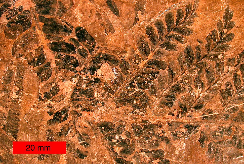 FossilFernLeavesPennsylvanianOhio