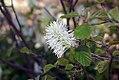 Fothergilla gardenii 6zz.jpg