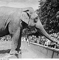 Fotothek df ps 0003521 Tiere ^ Tiergärten - Zoos ^ Tiere ^ Säugetiere ^ Elefante.jpg