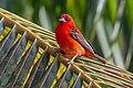 Foudia madagascariensis, Praslin Island.jpg