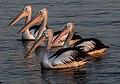 Four Hayes Inlet Pelicans-1 (7787090066).jpg