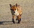 Fox (4578559914).jpg