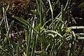 Frasera albicaulis 3186.JPG