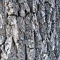 Fraxinus americana bark1.jpg