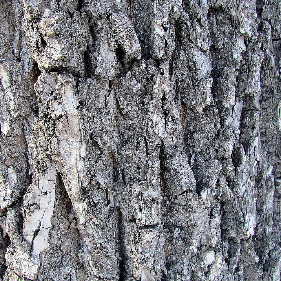 Fraxinus americana bark1