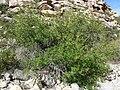 Fraxinus anomala 2.jpg