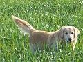 Free dog Turkey - panoramio.jpg