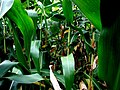Fresh Corn Schoharie Crossing State Historical Site, Fort Hunter NY 2791 (4029998728).jpg