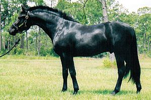 Equine coat color - A black horse