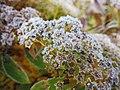 Frost flowers (10986199174).jpg