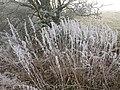 Frosted nettles below Clun Hill - geograph.org.uk - 1110170.jpg