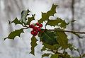 Fruits of holly (Ilex aquifolium). Locatie, Jonkersvallei.jpg