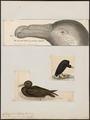 Fulmarus giganteus - 1700-1880 - Print - Iconographia Zoologica - Special Collections University of Amsterdam - UBA01 IZ17900070.tif