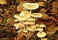 Fungus, Glenarm forest - geograph.org.uk - 946397.jpg