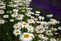 Furano flowers (7662403734).jpg