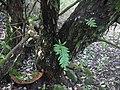 Fuscoporia torulosa (Pers.) T. Wagner & M. Fisch 318651.jpg