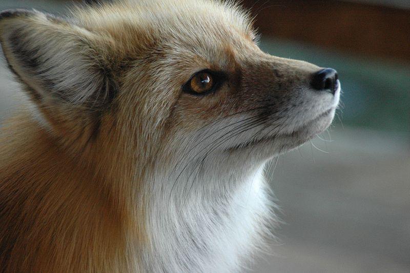 Fuzzy Freddy is a cute fox