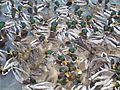 Gaggle of ducks 1.jpg