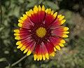 Gaillardia aristata flower.jpg