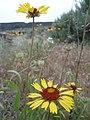 Gaillardia aristata next to Columbia River 2.jpg