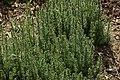 Galium verum in Jardin Botanique de l'Aubrac 07.jpg