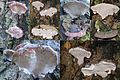 Ganoderma adspersum or G. australe or G.tornatum (GB= Polyporus Australis or Southern Bracket, D= Wulstige Lackporling, F= Ganoderme d'Europe, NL= Dikrandtonderzwam) brown spores and causes white rot, at Hoge Erf Scha - panoramio.jpg