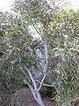 Gardenology.org-IMG 2742 ucla09.jpg