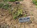 Gardenology.org-IMG 5347 hunt0904.jpg