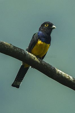 Gartered Trogon - Mexico S4E9784.jpg