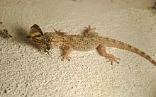 Gecko with moth.jpg