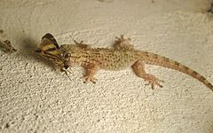 Gecko with moth.jpg